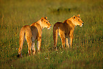 Pair of female lions, Masai Mara National Reserve, Kenya