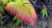Close-up of the endemic 'ama'u fern, Hawai'i Volcanoes National Park, Big Island.