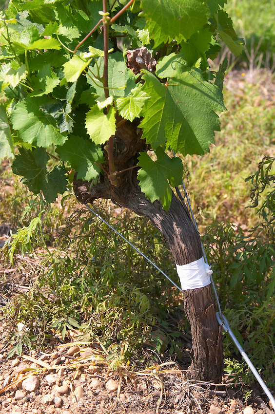 syrah field grafted on mourvedre recently mas du notaire rhone france