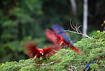 Scarlet &amp; green-winged macaws, Tambopata River region, Peru