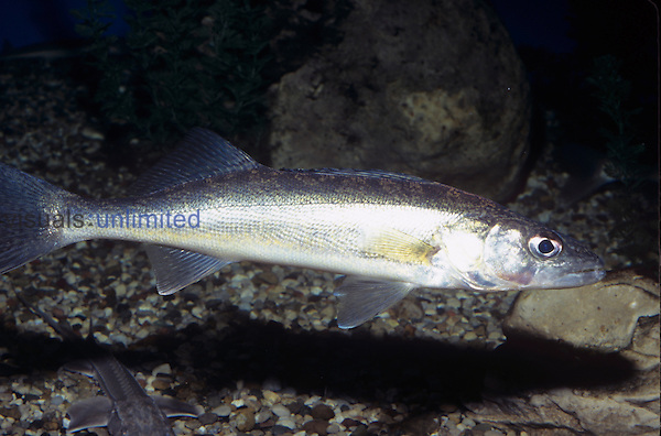 Yellow Walleye (Stizostedion vitreum) Canada to Central USA...