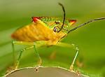 Hawthorn Shield Bug, Acanthosma haemorrhoidale, macro close up showing face.United Kingdom....
