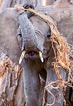 African elephant calf, Tarangire National Park, Tanzania
