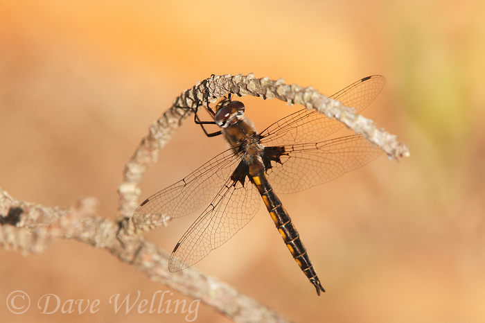 310860002 a wild male common baskettail epitheca cynosura perches on a small twig near caddo lake in marion county texas