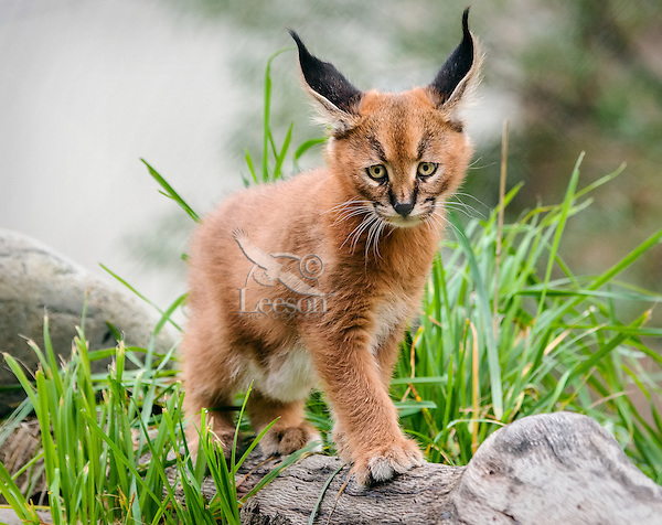 """Young Caracal Kitten (Caracal caracal).  Caracals are found in Africa to Central Asia and India.  The word """"Caracal"""" comes from the Turkish word """"karakulak"""" which means """"black ear."""""""