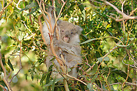Koala (Phascolarctos cinereus) young in tree, Victoria, Australia.