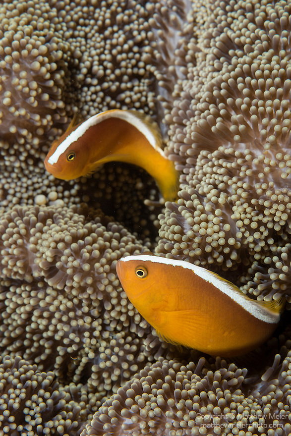 Anda, Bohol, Philippines; a pair of orange anemonefish living in a Merten's sea anemone