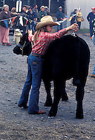 One young girl 4H farm family project steer cow cattle receives brushing before presentation aat Lancaster livestock auction