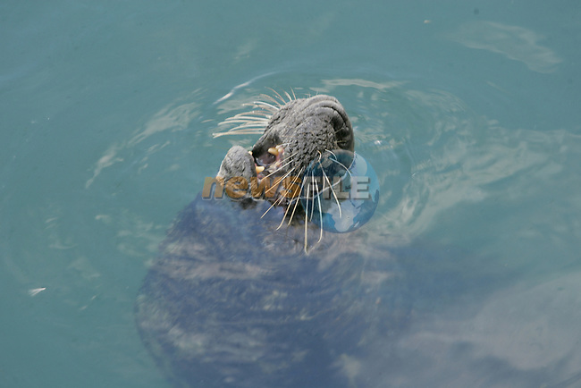 Pictures of some seals in the oil film waters of Howth Harbour in Co Dublin...Photo: Newsfile / Fran Caffrey.