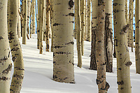 Aspens in snow - Arizona