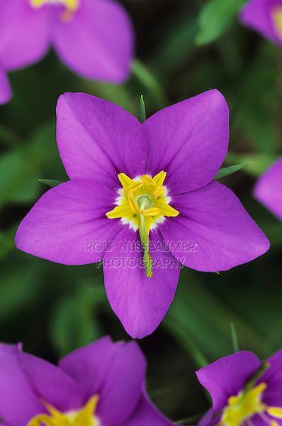 Rose Gentian, Sabatia campestris, blooming, Lake Corpus Christi, Texas, USA
