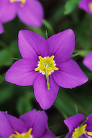 Rose Gentian, Sabatia campestris, blooming, Lake Corpus Christi, Texas, USA