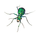 Six-spotted Tiger Beetle (Cicindela sexguttata)