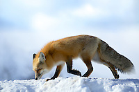 A red fox walks across snowy ridge in Grand Teton National Park.
