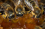 Honey Bee, Apis mellifera, inside hive, workers drinking honey, social, network.United Kingdom....