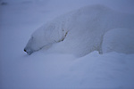 A polar bear sleeps at Hudson Bay, Churchill, Manitoba, Canada--a fine dusting of snow over its fur.