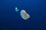 Chambered nautilus.Nautilus pompilius