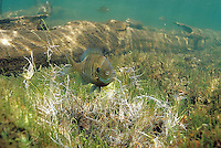 Bluegill Sunfish prepaing spawning bed<br />