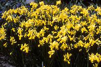 Narcissus 'Tete-a-tete' (Daffodil)