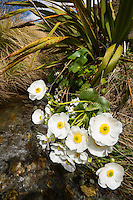 Alpine Daisy, buttercup, Aoraki, Mt. Cook National Park, Mackenzie Country, UNESCO World Heritage Area, South Island, New Zealand, NZ
