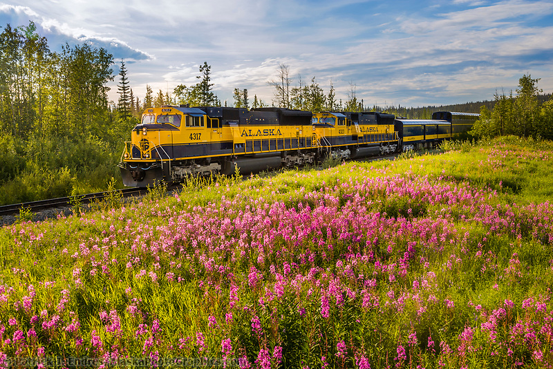 Alaska Railroad passenger train passes field of fireweed near Fairbanks, Alaska.