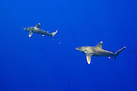 A pair of Oceanic Whitetip Sharks, Carcharhinus longimanus, and Pilot Fish, Naucrates ductor, off Kona Coast, Big Island, Hawaii, Pacific Ocean.