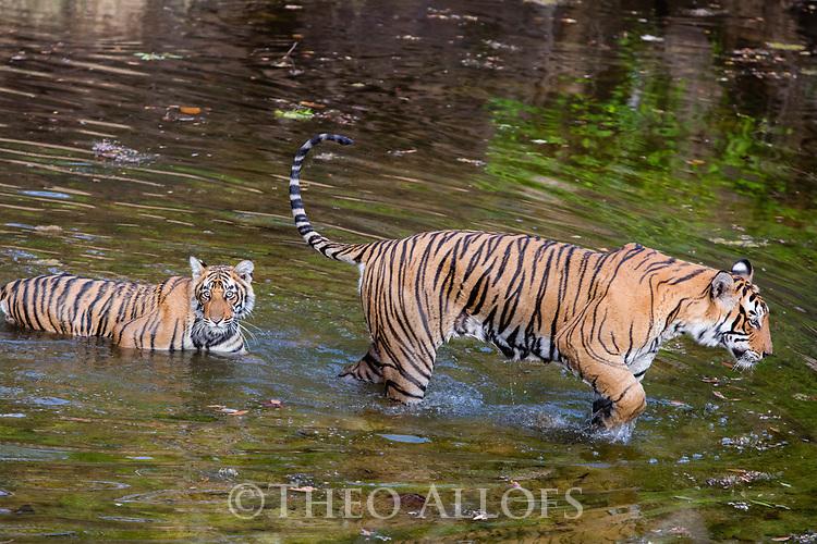 India, Rajasthan, Ranthambhore National Park, Bengal tigress and cub crossing waterhole