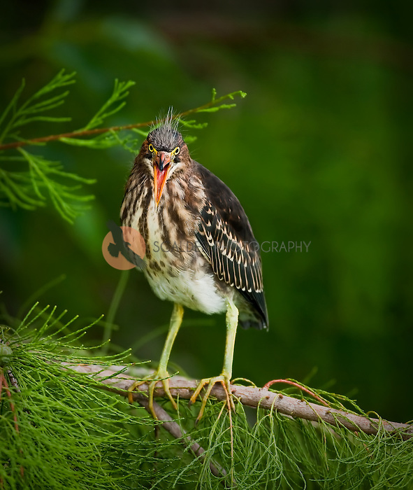 Juvenile Green Heron perched in a tree with mouth open facing camera--shallow depth of field