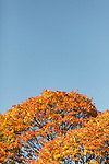 Autumn in Ireland, 2012: red and yellow leaves against a blue sky