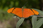 Julia Heliconian female, Dryas iulia, Southern California