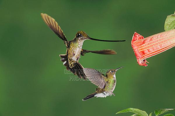 Sword-billed Hummingbird, Ensifera ensifera,female and Tourmaline Sunangel (Heliangelus exortis) feeding from Datura flower,Ecuador, Andes, South America