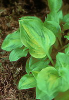 Hosta 'Tattoo' showing maple leaf design pattern on leaf