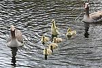 Foto: VidiPhoto<br /> <br /> ARNHEM - Zes pasgeboren grauwe ganzen krijgen maandag van hun ouders zwemles in de vijver voor de Zaanstreek van het Nederlands Openluchtmuseum. Doordat ze van bezoekers steeds voedsel toegeworpen krijgen, voelen de wilde vogels zich prima thuis in het museumpark. Grauwe ganzen zorgen voor een serieuze geboortegolf op dit moment. Uit tienduizenden eieren kruipen jonge ganzen, die over enige tijd weer voor de nodige overlast zorgen bij akkerbouwers en veehouders. Ganzen vreten het jonge gras compleet met wortel en veroorzaken mede door hun uitwerpselen grote schade. Daarnaast zijn ze dol op andere gewassen, zowel op pas ingezaaide akkers als rond de oogsttijd. De overlast van ganzen is in veel provincies inmiddels een onoplosbaar probleem. Alleen al in Gelderland verblijven in de winterperiode ruim 1,6 miljoen ganzen.