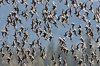Flocks of Surfbirds, Unakwik Inlet, Prince William Sound, southcentral, Alaska