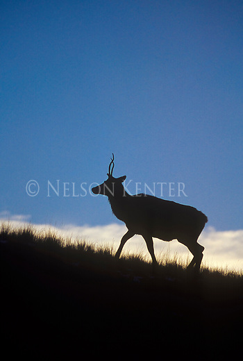 A spike bull elk with curving antlers climbs a hill at dusk