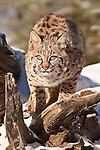 Bobcat, Felis rufus, Montana, USA