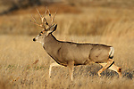 Mule Deer Buck Running