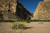 Santa Elena Canyon and Desert Marigold (Baileya multiradiata), Chisos Mountains, Big Bend National Park, Chihuahuan Desert, West Texas, USA