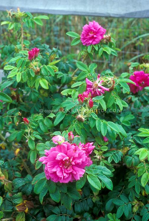 Rosa rugosa Hansa, pink Rugosa rose from 1905