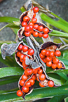Berries of Iris foetidissima in winter