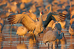 Sandhill Cranes of Bosque
