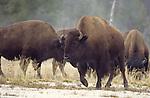 bison on Firehole Lake Drive