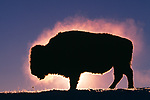 Bison, Yellowstone National Park, Wyoming, USA