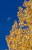 &quot;Autumn Moon 2&quot;- Photographed in the Tahoe Donner area of Truckee, CA, near the Equestrian Center.<br />