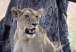 lioness at Masai Mara National Park in Kenya