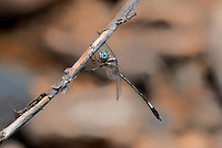 339850008 a wild male slender clubskimmer brechmorhoga praecox perches on a dead stick in sabino canyon pinal county arizona