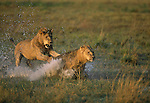 African lions playing in a puddle.