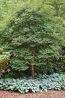 Acer griseum, Hosta Tardiana Group