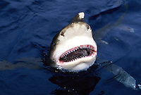 Oceanic whitetip shark,  Carcharhinus longimanus, biting at the surface with it's mouth open.  Hawaii...