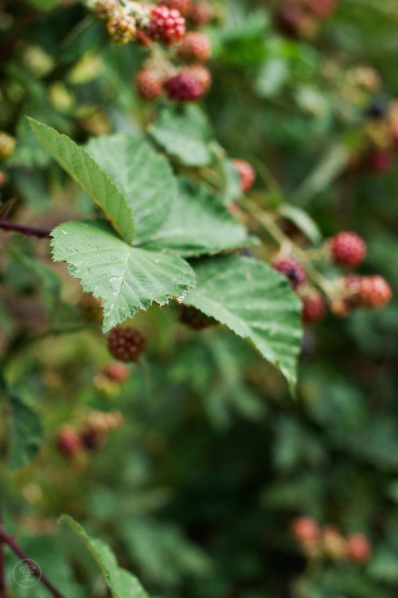 Blackberries ripening against green leaves.